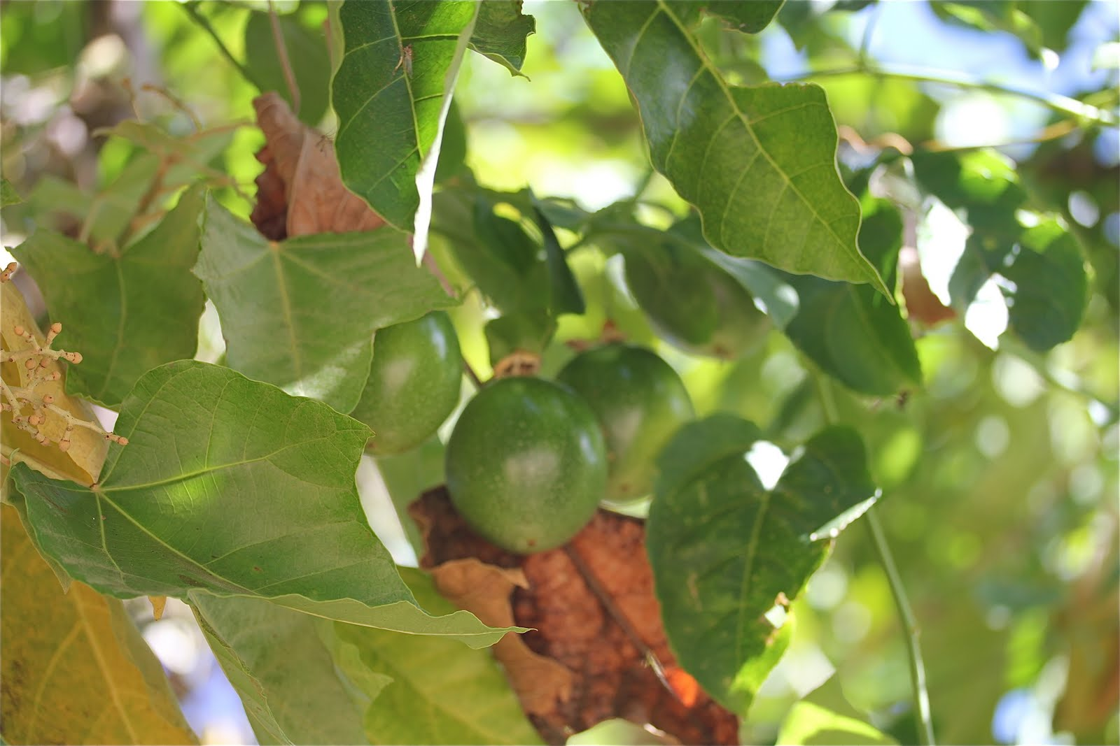 how to know when passion fruit is ripe