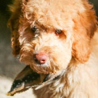 Australian Labradoodle 3 months old